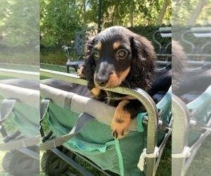 Dachshund Puppy for Sale in MALIBU, California USA