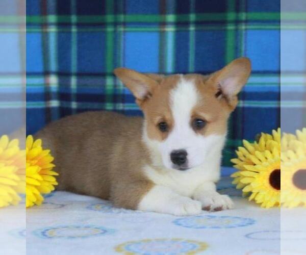 View Ad: Pembroke Welsh Corgi Puppy for Sale near Hungary