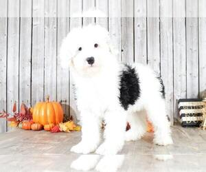 Sheepadoodle Dog for Adoption in MOUNT VERNON, Ohio USA