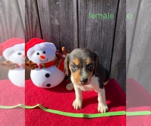 Beagle Puppy for sale in BOWLING GREEN, KY, USA