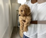 Small #10 Goldendoodle-Poodle (Standard) Mix