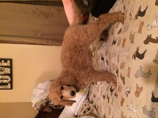 Poodle (Standard) Puppy For Sale in DAVENPORT, IA