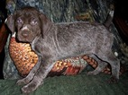 German Shorthaired Pointer Puppy For Sale in ELBERTA, Alabama,