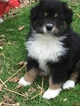 Australian Shepherd Puppy For Sale in LOGANVILLE, GA