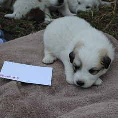 Great Pyrenees Puppy For Sale in LIBERTY HILL, TX, USA