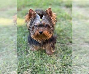 Yorkshire Terrier Puppy for sale in RANCHO BERNARDO, CA, USA