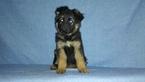 Puppy 8 German Shepherd Dog