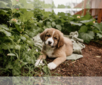 Puppy 6 Bernese Mountain Dog-Caucasian Shepherd Dog Mix
