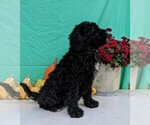 Small #3 Miniature Bernedoodle