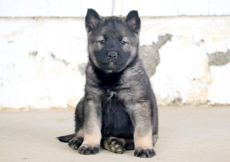View Ad: Norwegian Elkhound Puppy for Sale, Pennsylvania ...