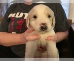 Puppy 9 Great Pyrenees-Labrador Retriever Mix