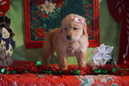 Golden Retriever Puppy For Sale near 44627, Fredericksbg, OH, USA