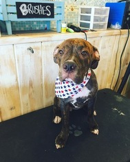 American Pit Bull Terrier-Unknown Mix Dogs for adoption in HUNTINGTON BEACH, CA, USA