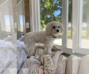 Poodle (Toy) Puppy for sale in COOKEVILLE, TN, USA