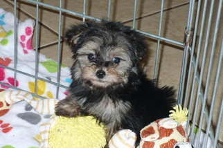 View Ad Poodle Toy Yorkshire Terrier Mix Puppy For Sale Arizona
