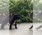 Small Black Mouth Cur-Labrador Retriever Mix