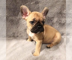 French Bulldog Puppy for sale in DURHAM, NC, USA