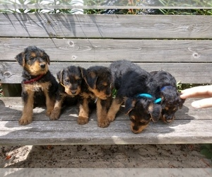Airedale Terrier Puppy for sale in MOUNT PLEASANT, MI, USA