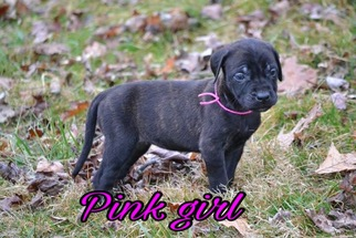 Mastiff Puppy For Sale in SOLSBERRY, IN