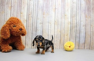 Dachshund Puppy For Sale in PORTSMOUTH, OH, USA