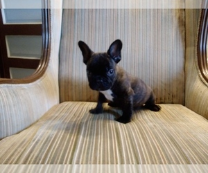 French Bulldog Puppy for sale in WISC RAPIDS, WI, USA