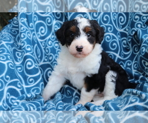 Aussiedoodle Puppy for sale in SHILOH, OH, USA