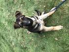German Shepherd Dog Puppy For Sale in LONGBRANCH, WA