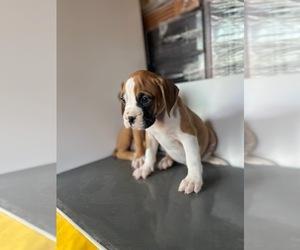 Boxer Puppy for Sale in DIAMOND, California USA