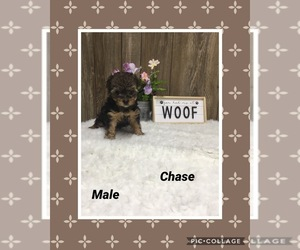Morkie Puppy for sale in MYRTLE, MO, USA