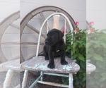 Puppy 3 Great Dane