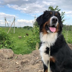 Mother of the Bernese Mountain Dog puppies born on 11/19/2018