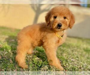 Goldendoodle-Poodle (Standard) Mix Puppy for sale in ROSEMEAD, CA, USA