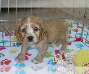 Cocker Spaniel Puppy for sale in ORO VALLEY, AZ, USA