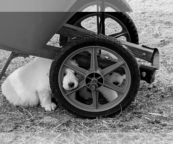 Medium Photo #101 Great Pyrenees Puppy For Sale in FALCON, CO, USA