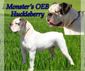 Father of the Olde English Bulldogge puppies born on 09/11/2020