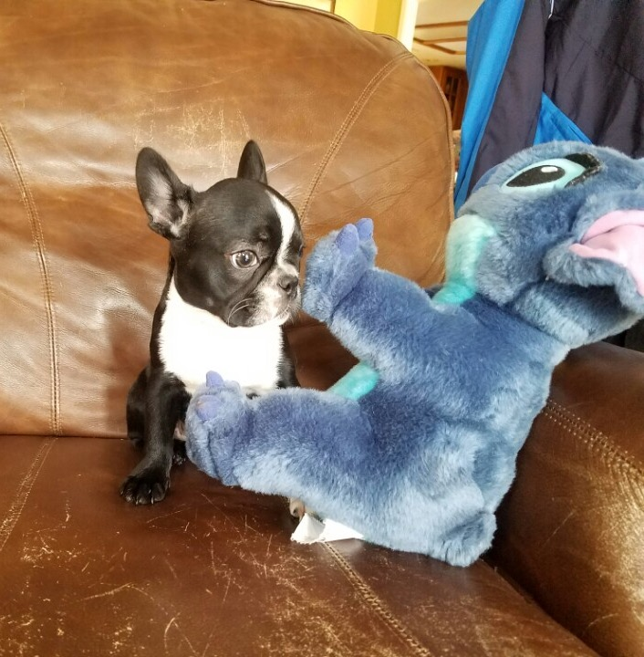 View Ad: French Bulldog Puppy for Sale near Spain