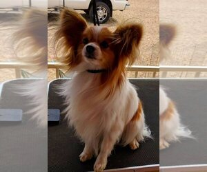 Papillon Puppy for Sale in FREWSBURG, New York USA
