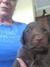 Labrador Retriever Puppy For Sale in STILWELL, KS, USA