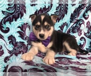 Labrador Retriever-Siberian Husky Mix Puppy for sale in COATESVILLE, PA, USA