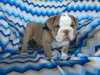English Bulldogge Puppy For Sale in EPHRATA, PA