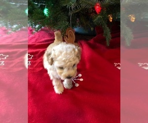 Poodle (Toy) Puppy for sale in SIMPSONVILLE, SC, USA