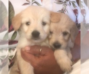 Goldendoodle-Poodle (Miniature) Mix Puppy for sale in PARKER, CO, USA