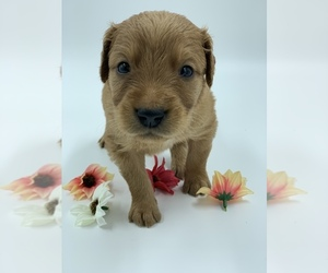 Golden Retriever Puppy for Sale in SUMMERVILLE, South Carolina USA