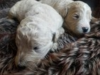 Goldendoodle Puppy For Sale in PALO CEDRO, CA, USA