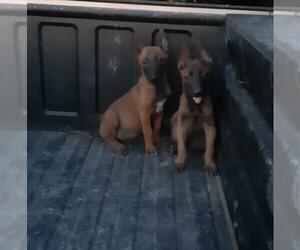 Belgian Malinois Dog for Adoption in LAKE LOS ANGELES, California USA