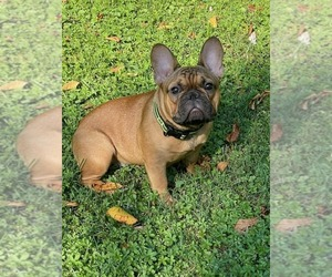 French Bulldog Puppy for sale in WARRINGTON, PA, USA