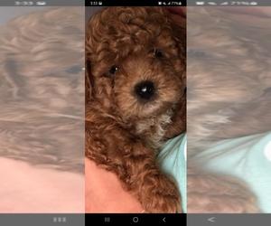 Bichpoo Puppy for sale in DUNBAR, WV, USA