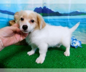 Pom-A-Poo-Unknown Mix Puppy for sale in HAMMOND, IN, USA