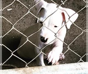 Dogo Argentino Puppy for sale in Santiago de los Caballeros, Santiago, Dominican Republic