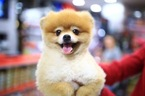 Pomeranian Puppy For Sale in WOODSIDE, New York,
